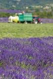 De oogst van de lavendel stock foto