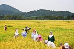 De oogst van de rijst Royalty-vrije Stock Foto