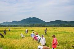De oogst van de rijst Royalty-vrije Stock Foto's