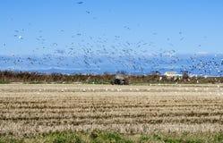 De oogst van de rijst Stock Afbeeldingen