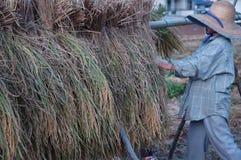De oogst van de rijst Stock Foto's