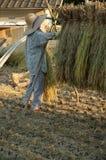 De oogst van de rijst Stock Foto