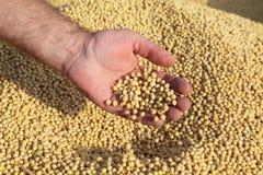De oogst van de sojaboon royalty-vrije stock foto's