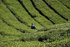 De oogst van de thee in Maleisië Stock Foto