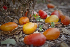 De Oogst van de tomaat Royalty-vrije Stock Foto's
