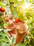 De oogst van de tomaat royalty-vrije stock foto