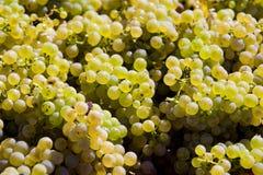 De oogst van de wijn Stock Fotografie