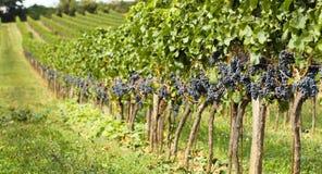 De oogst van de wijngaardenherfst Stock Foto's