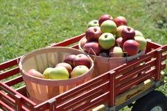 De oogst van het fruit Stock Fotografie