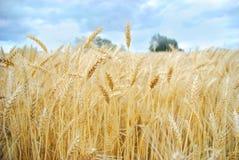 De Oogst van het Gebied van de tarwe stock afbeeldingen