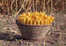 De oogst van het graan royalty-vrije stock foto