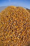 De oogst van het graan Stock Afbeelding