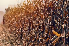 De oogst van het graangewas royalty-vrije stock foto's