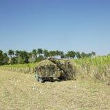 De oogst van het suikerriet stock afbeeldingen