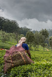 De oogst van het theeverlof door vrouw die op haar terug wordt gezien Stock Fotografie