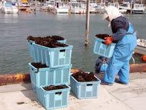 De oogst van het zeewier stock afbeeldingen