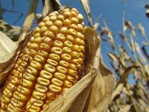 De oogst van Iowa royalty-vrije stock afbeeldingen