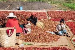 De oogst van de Spaanse peperpeper, Myanmar stock foto's