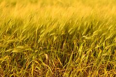 De oogstachtergrond van de de herfstdaling Zonnige dag, tarwe gele gouden weide stock fotografie