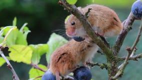 De oogstmuis, muizen sluit omhoog portretzitting op braambessen, sleedoornbloemen stock videobeelden