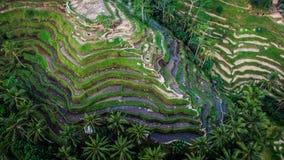 De Oogstseizoen II van Bali Stock Afbeelding