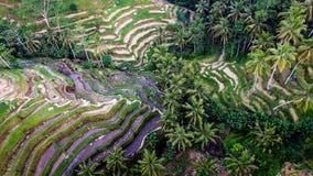 De Oogstseizoen II van Bali Stock Foto