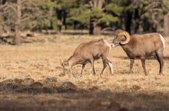 De Ooi en de Ram van Bighornschapen in Sleur stock foto's