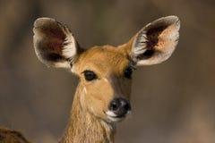 De ooi van Bushbuck Stock Fotografie