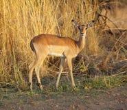 De Ooi van de impala royalty-vrije stock afbeeldingen