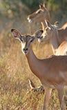 De ooi van de impala Stock Foto's
