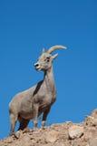 De Ooi van het woestijnbighorn op Rand Stock Afbeeldingen