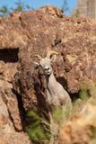 De Ooi van het woestijnbighorn in Rotsen Stock Foto