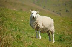 De ooi van Shropshire royalty-vrije stock foto's