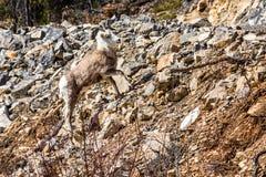 De ooi van steenschapen op steile helling van losse rotsen Kant van de weg op het Yukon-Grondgebied van noordelijk Canada stock fotografie