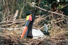 De ooievaar Jabiru setloglevel zit op het nest, Royalty-vrije Stock Foto