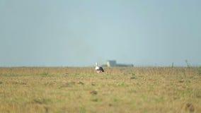 De ooievaar loopt het gebied na het oogsten van tarwe stock video