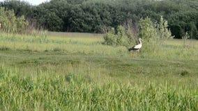 De ooievaar met zwart-witte veren gaat langs de weide stock footage