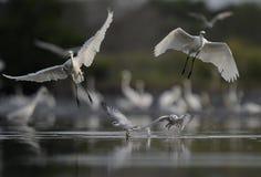 De ooievaar steeg en samen vliegend op stock foto's