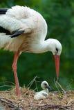 De ooievaar van de moeder en van de baby Stock Afbeeldingen