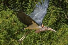 De Ooievaar van de maraboe tijdens de vlucht stock afbeeldingen