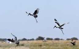 De Ooievaar van Saddlebilled - Botswana Royalty-vrije Stock Afbeelding