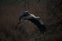 De ooievaar vliegt laag, vliegt de ooievaar aan zijn nest Royalty-vrije Stock Foto
