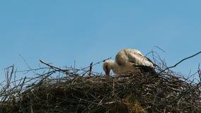 De ooievaar wast in haar nest stock videobeelden