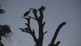 De ooievaar zit op een boomboomstam tegen een achtergrond van grijze hemel stock videobeelden
