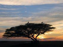 De ooievaars zitten op een boom stock afbeeldingen