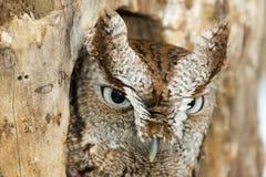 De oostelijke Close-up van de Uil van de Doordringende kreet Stock Foto