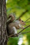 De oostelijke grijze eekhoorn eet zijn eikel Stock Afbeeldingen