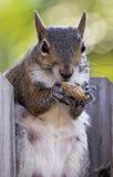 De zitting van de eekhoorn op houten omheining die een pinda eet Stock Afbeeldingen