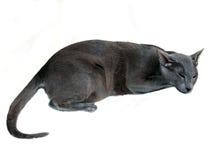 De Oostelijke kattenslaap Stock Foto's