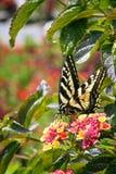 De oostelijke nippende nectar van de tijger swallowtail vlinder van de bloesems van de latanabloem royalty-vrije stock foto